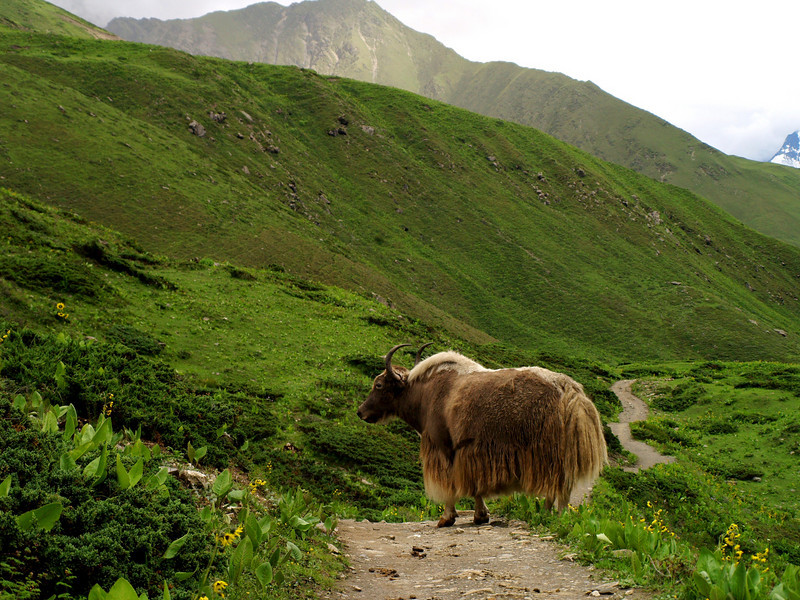 A Yak, a big bovid that graze in the high altitudes. We pass by it at 4.200 meters, close to the High Camp of Thorung-LA pass (5-400 meters).
