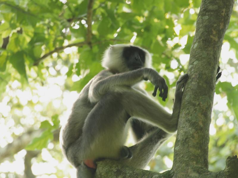 Wild monkeys in Chitwan.