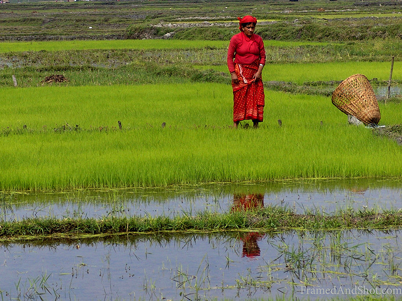 <strong><center>The Lady in Red <br> She was so nicely dressed, standing out in the green rice field, and we just had to call her The Lady in Red, from Nepal