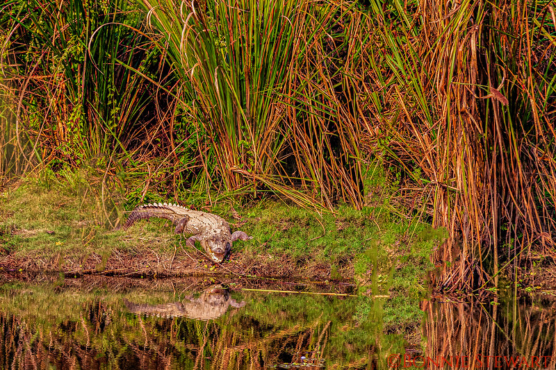 Wildlife in real! A Crocodile on the banks of the river