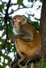 Gokarna Forest Monkey