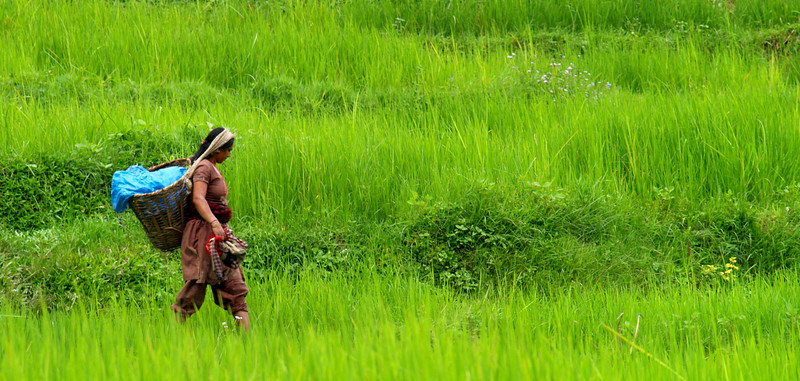 In general women are who work the lands with the help of their children. We passed her in the rice lands at the trekking