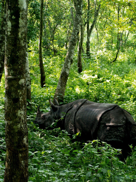 Rhino in the Chitwan National Park. Obviously we were well placed on the top of an elephant