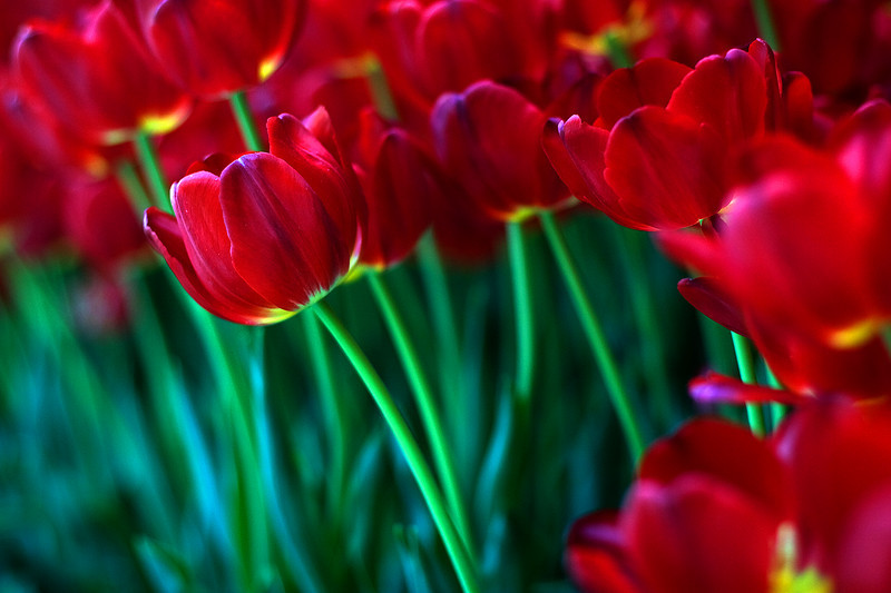 More Tulips.....