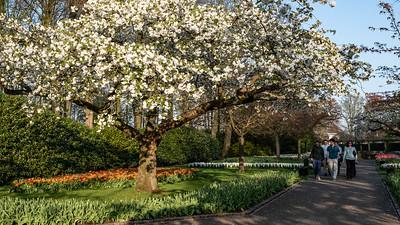 Cherry Blossoms at Keukenhof