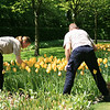 Grounds keepers picking flowers tulips.