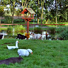 Pond and animals at Landal Het Roekenbosch - great place for kids too.