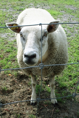 Looking over the back fence at Liesbeth's place ......... baaaaa where's my bread ?????? (Ed & Lies buy bread especially for the sheep!!!!)
