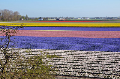 Tulip fields along the Bollenstreek