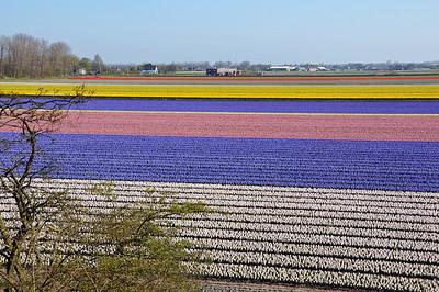 Tulip fields along the Bollenstreek