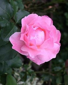 Beautiful rose in Jan's garden.