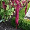 Unusual flower in Muiderslot gardens