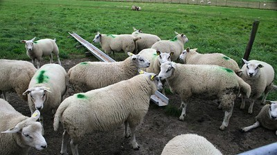 These ewes had green blobs on their back - Ed told me that they paint the rams underbelly with green paint so they can keep track what he has been up to - mmmmmm ..........