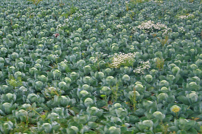 Field of cabbages near Twisk