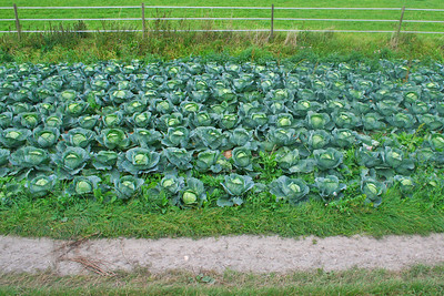 More cabbages
