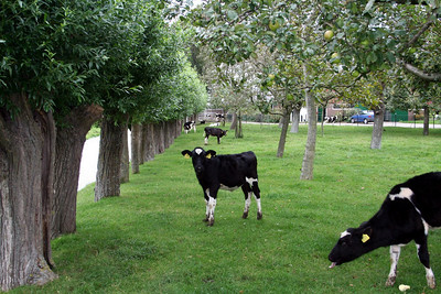 We walked past the cows in this orchard - I love this photo - I captured the cow with his tongue out !!!