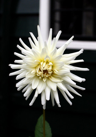 I think this could be a dahlia
