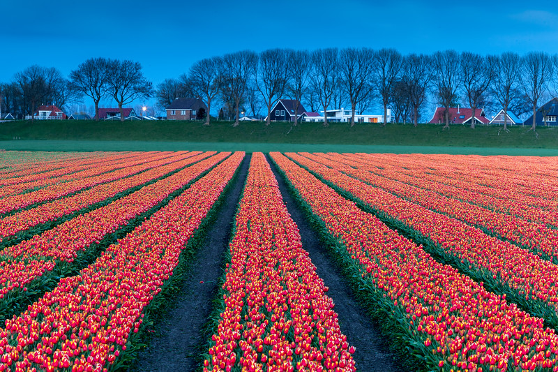 Evening mood with tulip field