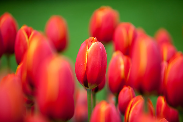 Colorful tulips in garden with blurred background. Focus on tulips in foreground.
