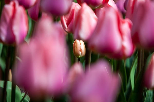 Tulips growing in the garden, North Holland, Netherland