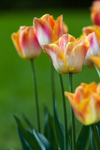 Tulips, Keukenhof garden, Netherlands