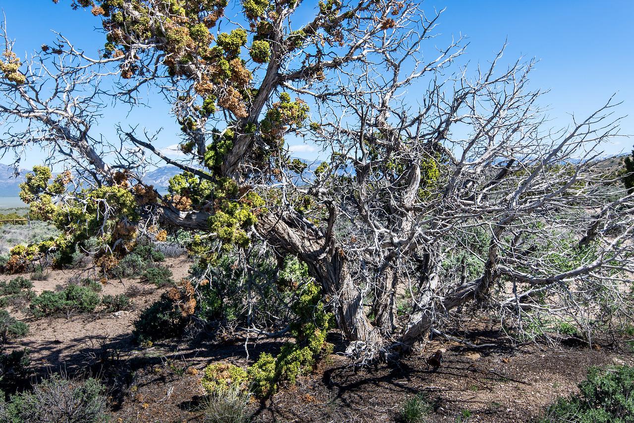 Bristlecone Pine near Tonopah, Nevada - April 2016