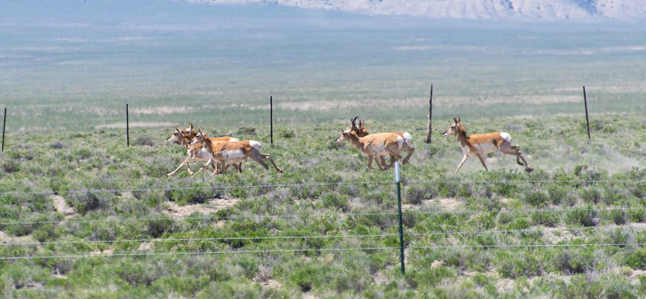 Antelope near Tonopah, Nevada - April 2016