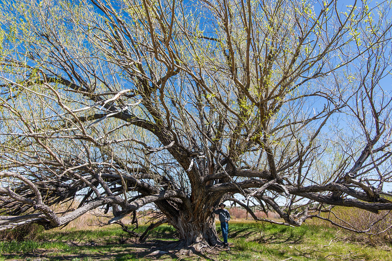 Large, sprawling tree off of Strawberry Creek near Great Basin National Park, Nevada - April 2016