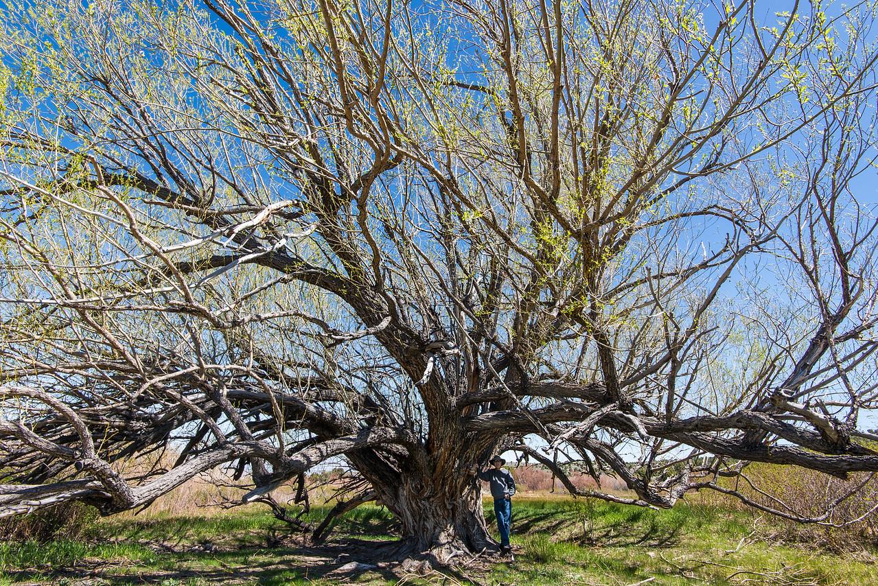 Large, sprawling tree off of Strawberry Creek near Great Basin National Park, Nevada - April 2016