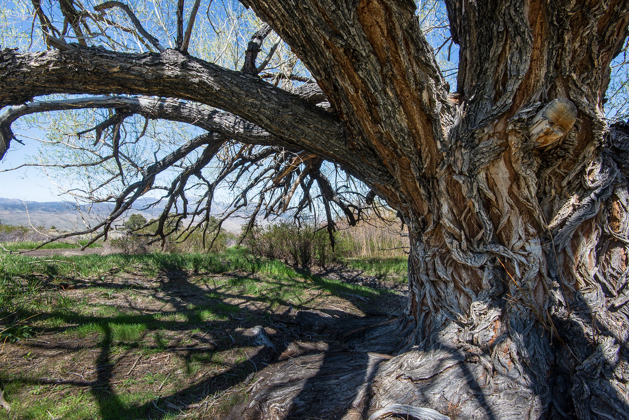 Large tree off of Strawberry Creek near Great Basin National Park, Nevada - April 2016