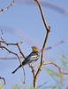 Yellow rump warbler