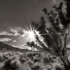 Joshua tree and sunstar, black and white duotone, extra terestrial highway, Nevada.