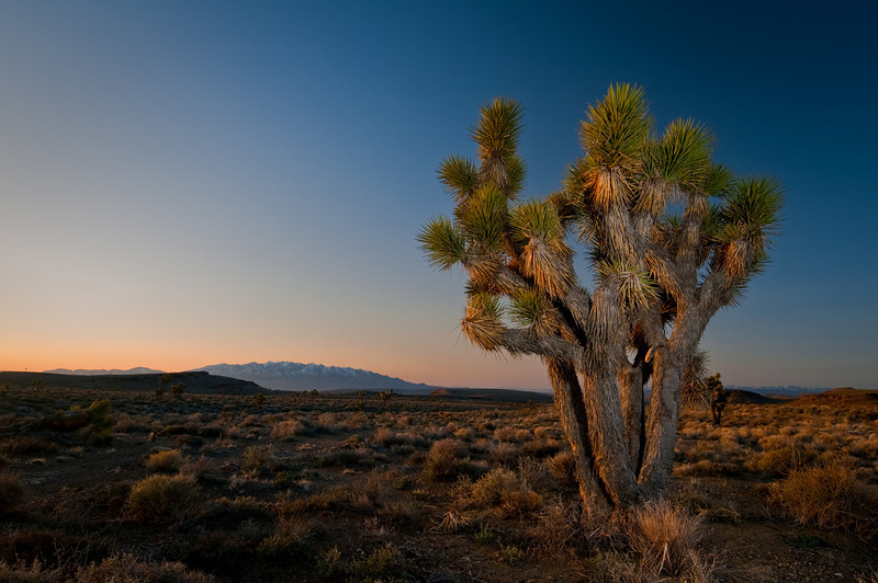 Dancing Joshua tree at sunrise, extraterrestrial highway, Nevada<br /> <br /> © Douglas Remington - Ethereal Light® Photography, LLC. All Rights Reserved. Do not copy or download.