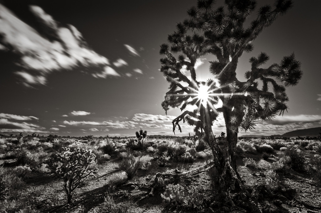 Joshua Tree and Sunstar, Nevada. B+W Duotone.