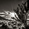 Joshua tree sunstar