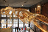 Whale skeleton at the New Bedford Whaling Museum