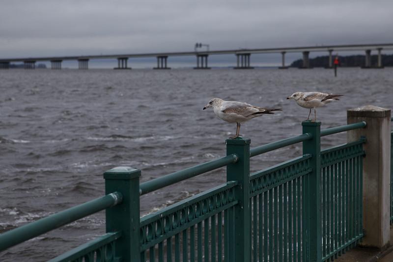 Gulls on the Neuse