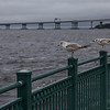 Gulls on the Neuse
