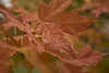 <h2>Red Leafs</h2>I love to taking pictures very close up to highlight something that is even more interesting and beautiful in a smaller context.