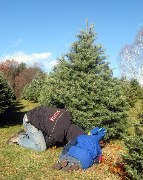 Cutting this year's tree