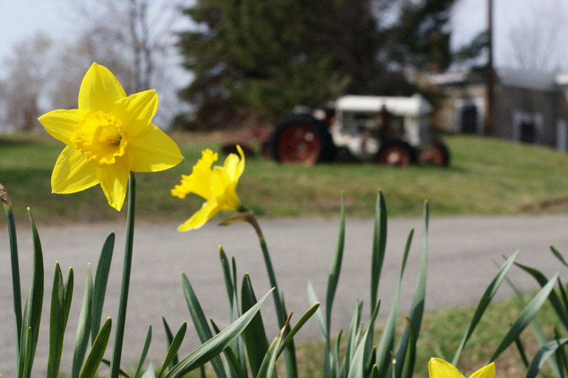 Yellow flower, white tractor