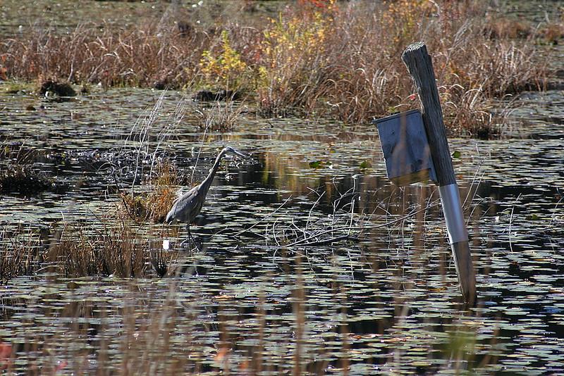 Blue heron and birdhouse
