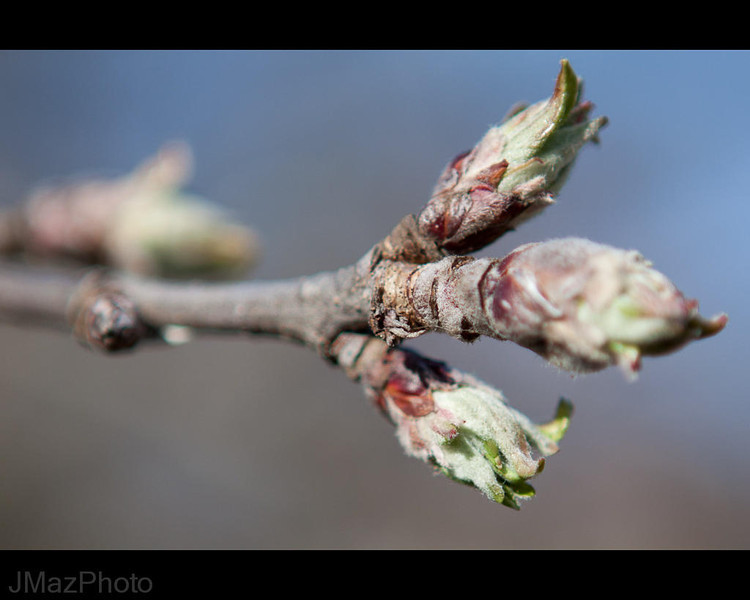 The buds on the tree