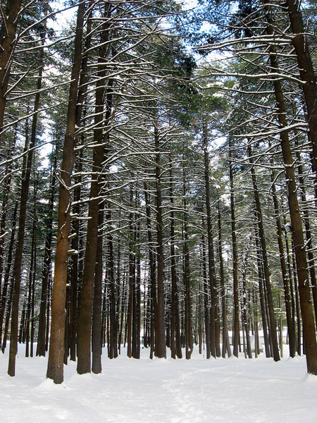 Snow in the tall trees