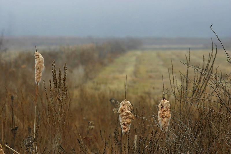 Cattails by the bog