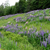 Lupine in Maine
