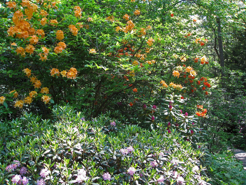 Rhododendrons in bloom at the garden