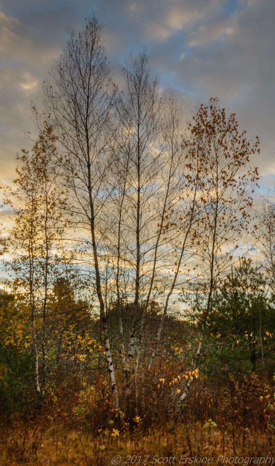 Birches and Meadow, Sunrise, Blackstone, MA