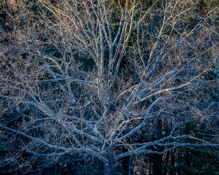 Late Afternoon Winter Light on Oak , Uxbridge, MA