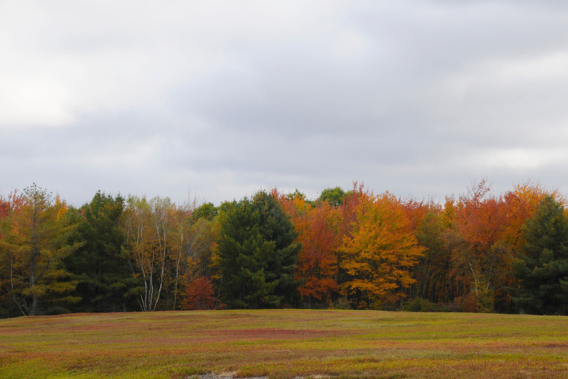 Maine Blueberry Field In Fall ME
